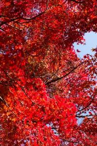 幾重にも重なる紅葉